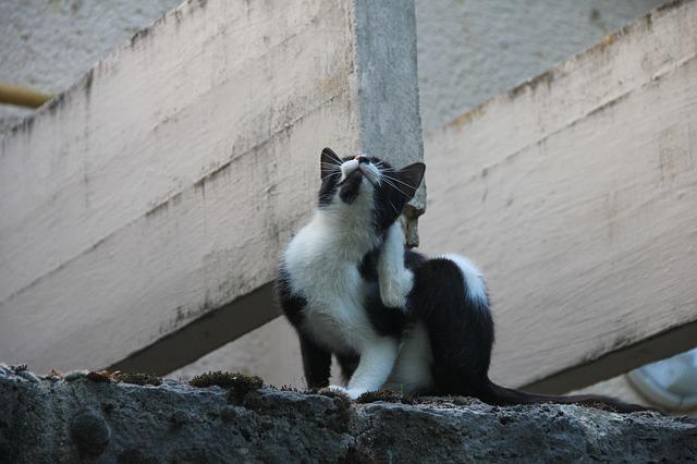 Cat Scratching Mites