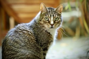 Domestic Tabby Cat